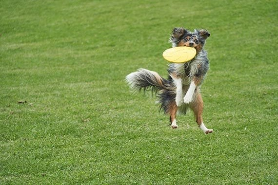 A dog catches a Frisbee.